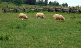 Pecore che pascono in un campo Fotografia Stock Libera da Diritti