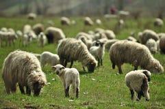 Pecore che pascono in un campo Fotografie Stock Libere da Diritti