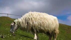 Pecore che pascono in un campo stock footage