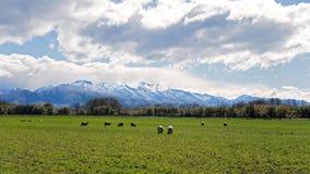 Pecore che pascono in un campo in Front Of Snow Covered Alps Immagini Stock