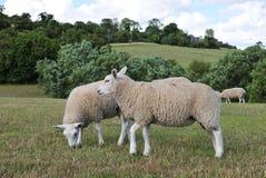 Pecore che pascono in un campo verde Fotografie Stock Libere da Diritti