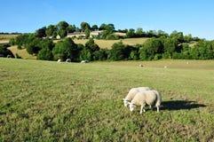 Pecore che pascono in un campo verde Fotografia Stock Libera da Diritti