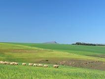 Pecore che pascono in un campo verde - seguire la guida Fotografie Stock