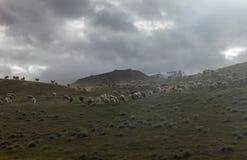 Pecore che pascono vicino al lago chandrataal in valle di Spiti Immagini Stock Libere da Diritti
