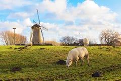 Pecore che pascono vicino al mulino Allevamento di pecore Fotografia Stock