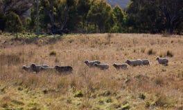 Pecore che pascono vicino a Oberon. NSW. L'Australia. Fotografia Stock Libera da Diritti