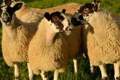 Pecore che pesano sulle loro opzioni immagine stock