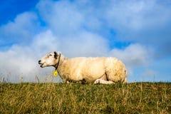 Pecore che pongono sopra l'argine Fotografia Stock Libera da Diritti