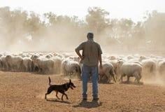 Pecore che radunano nel Nuovo Galles del Sud di entroterra immagine stock