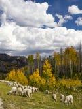 Pecore che radunano nel Wyoming Immagini Stock