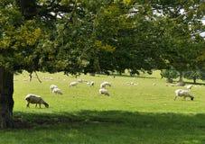 Pecore che riposano nel campo fotografia stock libera da diritti