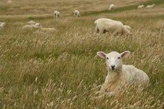 Pecore che riposano nel prato erboso Immagine Stock Libera da Diritti
