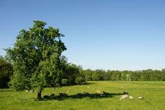 Pecore che riposano nell'ombra di grande albero Fotografia Stock Libera da Diritti