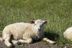 Pecore che riposano sull'erba a Andenes in Norvegia immagine stock