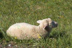 Pecore che riposano sull'erba a Andenes in Norvegia fotografia stock