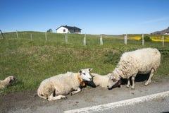Pecore che riposano sull'erba a Andenes in Norvegia immagini stock libere da diritti