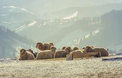 Pecore che riposano sulla neve Fotografia Stock Libera da Diritti