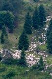 Pecore che scendono la montagna immagine stock libera da diritti