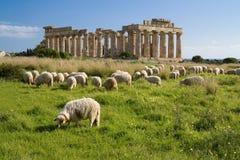 Pecore che si alimentano davanti al tempiale E, Selinunte. Fotografie Stock