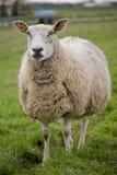 Pecore che si levano in piedi nel prato Fotografia Stock