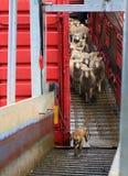 Pecore che sono camion scaricato del bestiame Fotografie Stock Libere da Diritti
