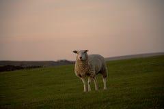 Pecore che stanno sul campo degli agricoltori Fotografia Stock
