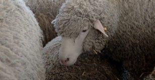 Pecore che vi esaminano nel granaio fotografia stock