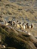 Pecore - Cipro del Nord Immagine Stock