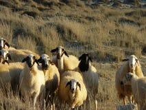 Pecore - Cipro del Nord Fotografia Stock
