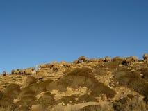 Pecore - Cipro del Nord Fotografie Stock