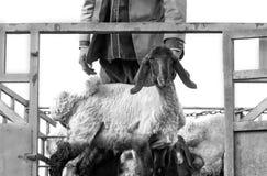 Pecore a coda adiposa fotografia stock