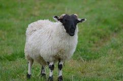 Pecore colorate in bianco e nero in un campo fotografia stock