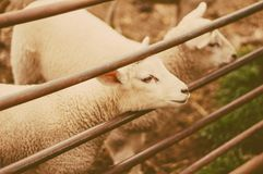 Pecore come simbolo di 2015 anni Fotografia Stock Libera da Diritti