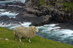 Pecore con denso Immagini Stock Libere da Diritti
