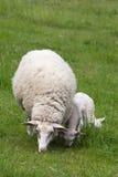 Pecore con due agnelli Immagini Stock Libere da Diritti
