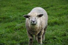 Pecore con erba Fotografia Stock
