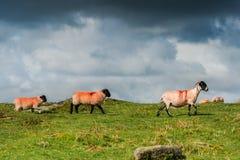 Pecore con gli agnelli che pascono Immagini Stock