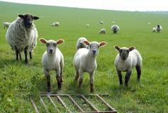 Pecore con gli agnelli del bambino in primavera Fotografie Stock Libere da Diritti