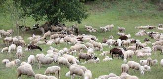 pecore con gli agnelli e le pelli di capra nel prato Fotografia Stock