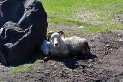 Pecore con gli agnelli in pascolo in Islanda immagine stock libera da diritti