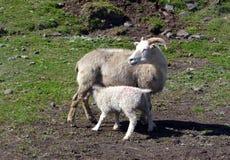 Pecore con gli agnelli in pascolo in Islanda fotografia stock libera da diritti