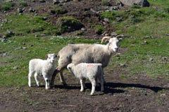 Pecore con gli agnelli in pascolo in Islanda immagini stock