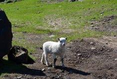 Pecore con gli agnelli in pascolo in Islanda immagini stock libere da diritti