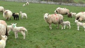Pecore con gli agnelli, pendio di collina Galles archivi video
