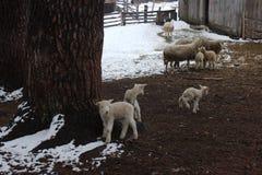 Pecore con gli agnelli in recinto per bestiame Fotografie Stock