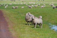 Pecore con gli agnelli in un prato Fotografie Stock Libere da Diritti