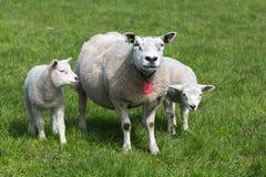 Pecore con i giovani agnelli Fotografie Stock