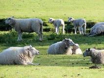 Pecore con i loro agnelli accanto al fiume Misbourne fotografia stock libera da diritti