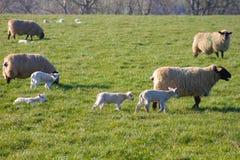 Pecore con i loro agnelli su un prato durante la stagione di parto immagini stock