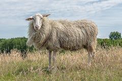 Pecore con i marchi nel campo olandese con erba lunga Fotografie Stock Libere da Diritti